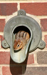 chipmunk emerging from gutter spout