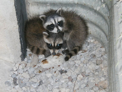 two raccoons